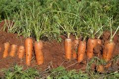 Champ de carotte Photos libres de droits