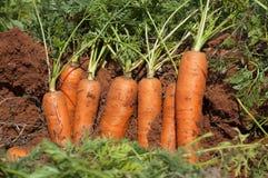 Champ de carotte Photos stock