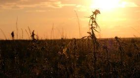 Champ de chanvre au coucher du soleil Deux silhouettes des personnes abstraites se déplacent sur l'horizon Jeune balancement de c banque de vidéos