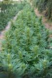 Champ de chanvre industriel ou de marijuana image libre de droits