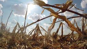 Champ de chaume de maïs après vue de récolte de dessous banque de vidéos