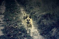 Champ de chien de loup Images libres de droits