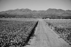 Champ de coton en noir et blanc Images stock