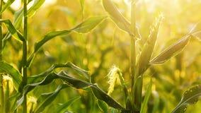 Champ de coucher du soleil et de maïs Photographie stock libre de droits
