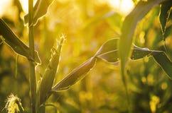Champ de coucher du soleil et de maïs Photo libre de droits
