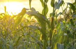 Champ de coucher du soleil et de maïs Images libres de droits