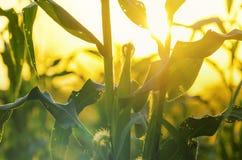 Champ de coucher du soleil et de maïs Images stock