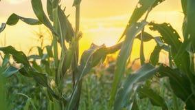 Champ de coucher du soleil et de maïs Photos stock