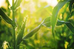 Champ de coucher du soleil et de maïs Photographie stock