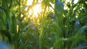 Champ de coucher du soleil et de maïs Image libre de droits