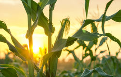 Champ de coucher du soleil et de maïs Photos libres de droits