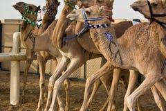 Champ de courses de chameau de Marmoum d'Al, Dubaï Images stock