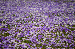 Champ de crocus Image stock