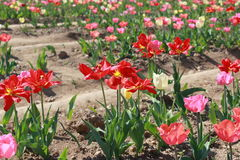 Champ de ` de tulipes Photos stock