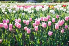 Champ de différentes tulipes de couleur Images stock