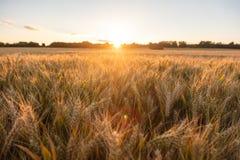 Champ de ferme d'orge au coucher du soleil ou au lever de soleil d'or Photographie stock libre de droits