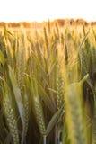 Champ de ferme de blé au coucher du soleil ou au lever de soleil d'or Images libres de droits