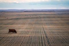 Champ de ferme de Priarie avec la vache frôlant sur la terre moissonnée images libres de droits