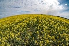 Champ de fleur d'or de beau printemps de graine de colza avec le ciel bleu, colza de canola dans le napus latin de brassica avec  image stock