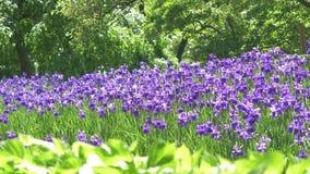 Champ de fleur pourpre de ressort dans le temps de matin Le beau pré violet des fleurs de floraison aménagent en parc Forêt fanta clips vidéos