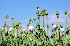 Champ de fleur verte de pavot Image stock