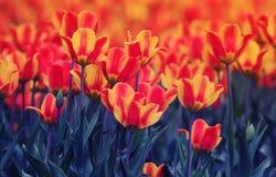 Champ de floraison avec de beaux bourgeons lumineux d'une tulipe s'élevant dedans photographie stock