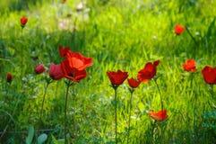 Champ de floraison d'anémones Image stock