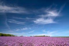 Champ de floraison d'oignon sous le ciel bleu Photos stock