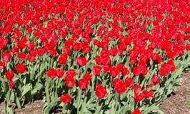 Champ de floraison de grandes tulipes rouges Photo stock