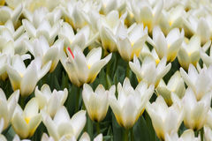 Champ de floraison des milliers de tulipes de tulipes Photo stock
