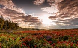champ de floraison merveilleux des pavots Coucher du soleil majestueux Photographie stock libre de droits