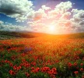 champ de floraison merveilleux des pavots Coucher du soleil majestueux Images libres de droits