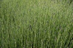 Champ de floraison vert frais des usines de fines herbes de lavande Image libre de droits