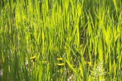Champ de fond naturel de pelouse de texture verte fraîche d'herbe Image stock