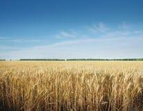 Champ de grain Photos libres de droits
