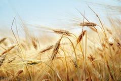 Champ de grain Photographie stock