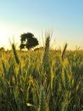 Champ de grain avec l'arbre au fond au coucher du soleil Photos stock