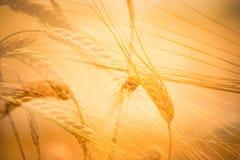 Champ de grain de blé à la lumière du soleil Photos libres de droits