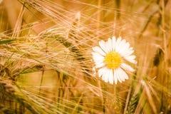 Champ de grain de blé avec la marguerite blanche Image stock