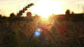 Champ de grain de coucher du soleil Photo libre de droits