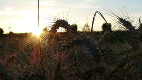 Champ de grain de coucher du soleil Photos stock