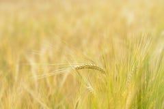 Champ de grains d'orge Photo stock