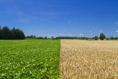 Champ de haricot et de blé Image libre de droits