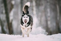 Champ de Husky Dog Running Outdoor In Milou de Sibérien au jour d'hiver images libres de droits