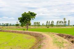 Champ de jeune plante de riz Image libre de droits
