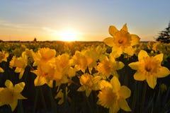 Coucher du soleil de champ de jonquille Image stock