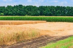 Champ de l'élevage de blé jaune mûr et de maïs vert Photographie stock