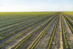 Champ de l'élevage vert d'usines de soja Image libre de droits