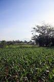 Champ de la culture du maïs dans Bali Image stock