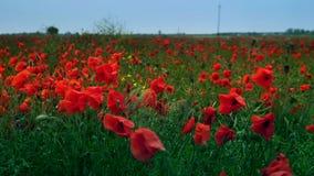 Champ de la floraison et de la danse dans les pavots de vent, champ ProRes 4 de pavot 2 2 10bit banque de vidéos